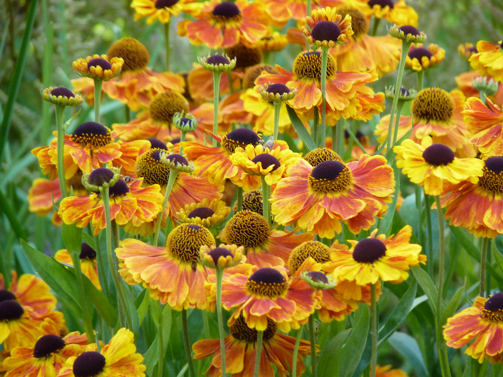 1480273374Helenium-Sahins-Early-Flower.jpg