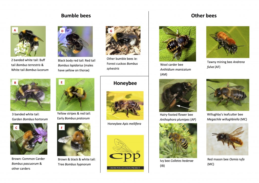 CPP Bee ID Guide